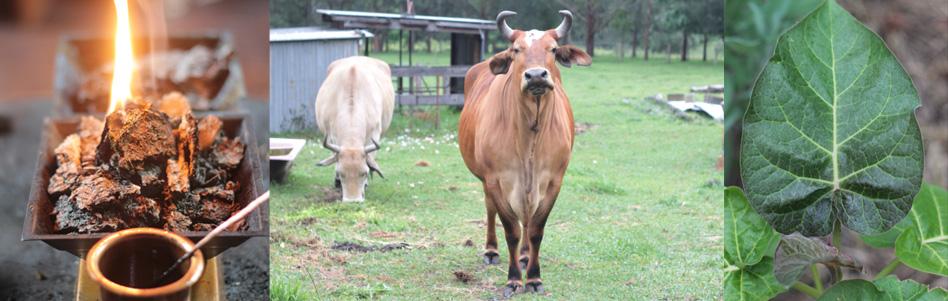 Agnihotra-cow dump