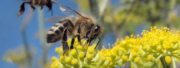 bijen_syngenta