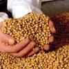 GMO-soja, niet te onderscheiden van échte. Het verwoestende verschil zit 'm in de 'genen'..!!