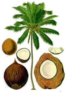 kokospalm en noot