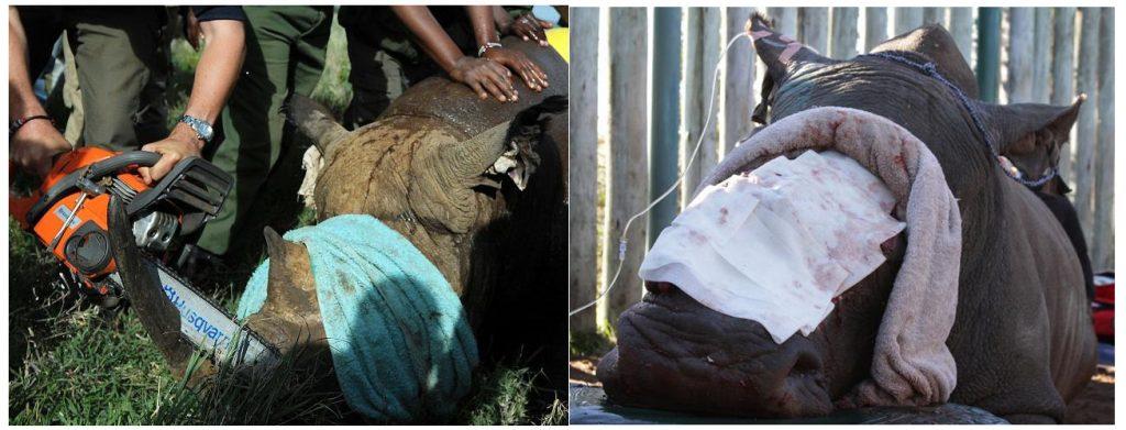 In een nationaal park in Kenia wordt een neushoorn verwijderd van een Rhino. Een gruwelijk gezicht dat natuurlijk ook een andere kant heeft; in het belang van het dier..